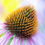 Echinacea pianta immunitaria